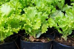 Салат салата Стоковые Фотографии RF