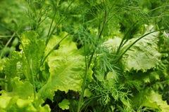 салат, укроп, петрушка Стоковые Изображения RF