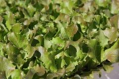 Салат стоковое фото