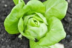 Салат Butterhead или головной салат Стоковое Фото