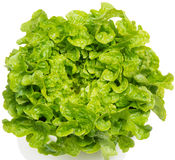 Салат (Lactuca sativa) Стоковое Изображение