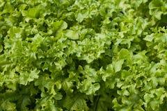Салат (Lactuca sativa) Стоковое Изображение RF