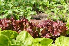 Салат (Lactuca sativa) Стоковое Фото