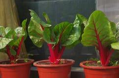 Салат Romaine Стоковое фото RF