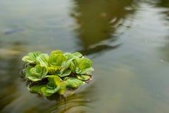 Салат Watter в воде Стоковое Изображение