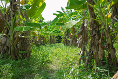 Сад банана Стоковые Фото