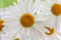 Сад белизны цветка маргаритки Стоковые Изображения