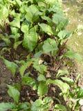 Сад бураков органический Стоковое Фото