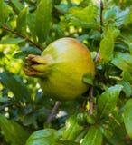 Сад венисы Зеленый плодоовощ венисы Вениса на дереве Wi ветви Стоковая Фотография