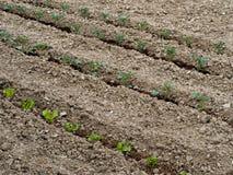 Сад весеннего овоща - засаживать томаты Стоковые Фото