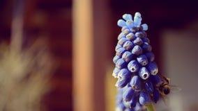 Сад весны - пчела на голубом цветке сток-видео