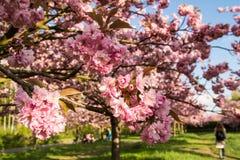 Сад весны с японскими вишневыми деревьями Стоковые Изображения RF