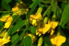 Сад весны arborescens Caragana Стоковое Изображение RF