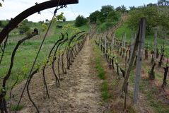 Сад виноградного вина, чехия Стоковое Изображение RF