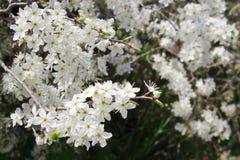 Сад вишневых цветов весной Стоковые Изображения RF
