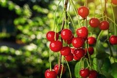 Сад вишни, вишневое дерево, зрелые кислые вишни растя на вишне Стоковые Изображения