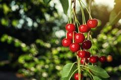 Сад вишни, вишневое дерево, зрелые кислые вишни растя на вишне Стоковое Изображение RF