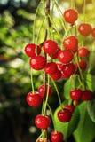 Сад вишни, вишневое дерево, зрелые кислые вишни растя на вишне Стоковые Изображения RF