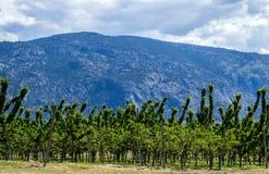 Сад вишни в долине горы в весеннем времени Стоковая Фотография RF