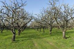 Сад вишни в цветении через весеннее время, взгляд от близко Стоковая Фотография