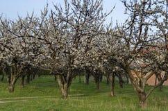 Сад вишни в цветении через весеннее время, взгляд от близко Стоковые Изображения RF
