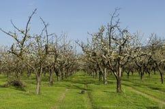 Сад вишни в цветении через весеннее время, взгляд от близко Стоковое Изображение
