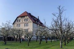 Сад вишни в цветении через весеннее время с зданием Стоковое Изображение