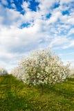 Сад вишни зацветая с одуванчиками Стоковая Фотография