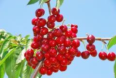 Сад вишни Стоковое фото RF