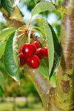 Сад вишни Стоковая Фотография RF