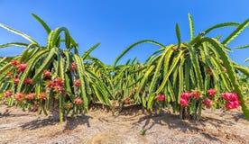 Сад вполне дракона плодоовощ гружёного Стоковая Фотография RF