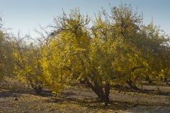 Сад гранатового дерева в падении Стоковые Фото
