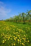 Сад, зацветая яблони и луг с одуванчиками Стоковое Фото