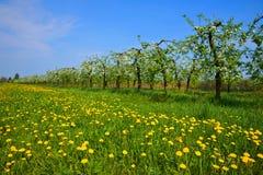 Сад, зацветая яблони и луг с одуванчиками Стоковое фото RF