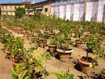 Сад лимонов в Boboli, Флоренсе Стоковая Фотография
