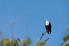 Садить на насест орел рыб стоковая фотография rf