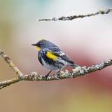 Садить на насест певчая птица Стоковые Изображения RF