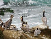 Садить на насест пеликаны Стоковое Фото