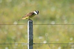 Садить на насест птица тирана Стоковая Фотография