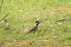 Садить на насест Woodpecker Стоковое Изображение