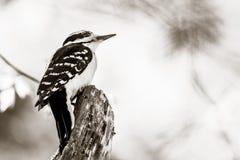 Садить на насест Woodpecker стоковая фотография