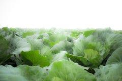 Сад капусты в утре Стоковая Фотография RF