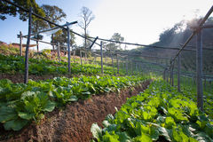 Сад капусты на горе Стоковая Фотография