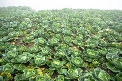 Сад капусты Стоковые Изображения