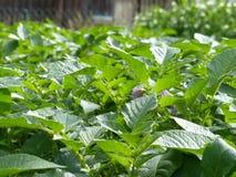 Сад картошек органический Стоковые Изображения RF