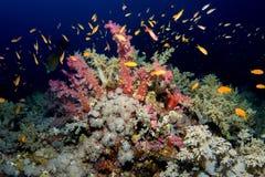 Сад коралла в Красном Море Стоковые Изображения