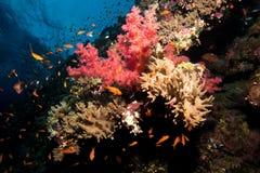 Сад коралла в Красном Море Стоковое Изображение RF