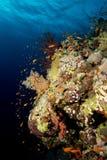 Сад коралла в Красном Море Стоковые Изображения RF