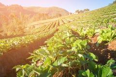 Садовник в поле клубники с утром стоковое изображение