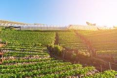 Садовник в поле клубники с утром стоковое фото rf
